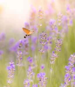 brown moth hovering over lavender flower