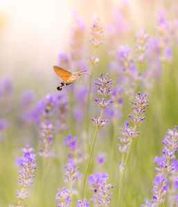 brown moth hovering over lavender flower