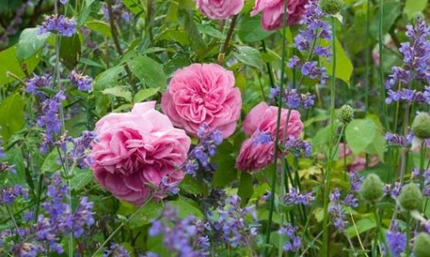 lavender and roses companion planting
